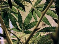It's been a high time for marijuana stocks